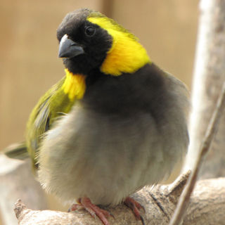 The Cuban Finch (Tiaris canora)
