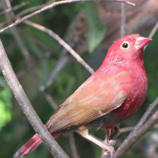 The Fire Finch (Lagonosticta senegala)