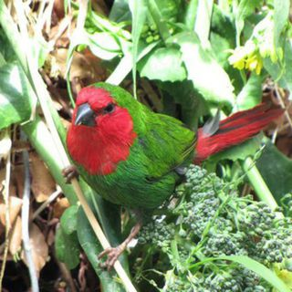 Red Faced Parrot finch (Erythrura psittacea)