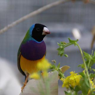 Black headed Gouldian finch  (Erythrura gouldiae)