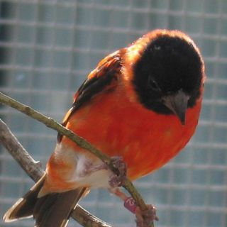 The Red Siskin - Article: Breeding the Red Siskin by Bruce Brownlee