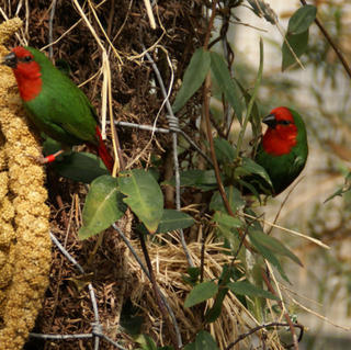 Red Faced Parrot Finch -  Erythrura psittacea