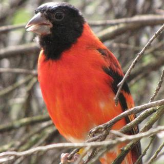Black Hooded Red Siskin -  Carduelis cucullata