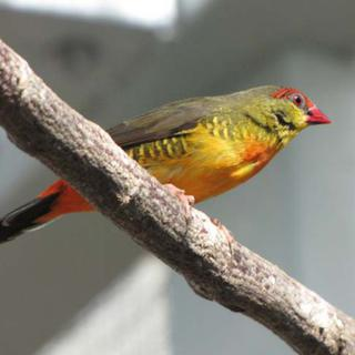 Orange Breasted Waxbill - Amandava subflava