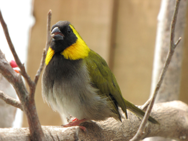 Cuban Finch - Tiaris canora