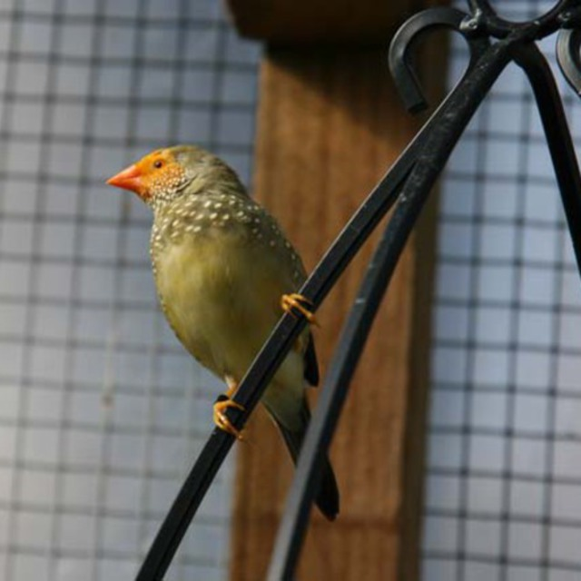 Yellow Faced Star Finch - Neochmia ruficauda