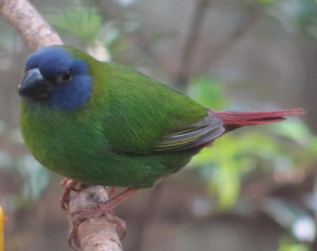 Blue Faced Parrot Finch - Erythrura trichroa