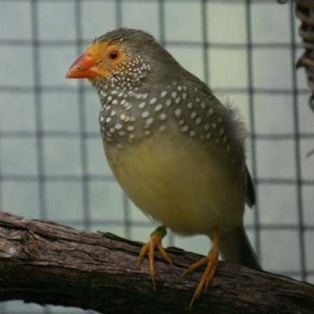 Yellow Star Finch Yellow Faced St...